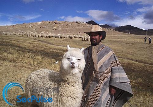 Bolivian_Alpaca